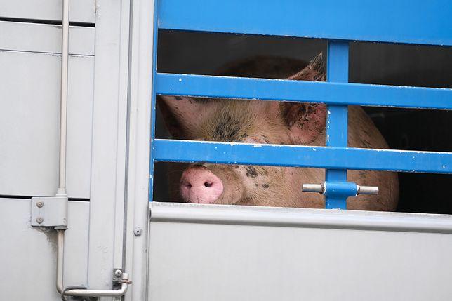 Ciężarówka, która przewoziła 180 świń, wypadła z drogi
