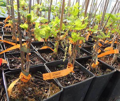 Leśnicy nie chcą sprzedać wyjątkowego rarytasu - sadzonki sklonowanego dębu Bartek