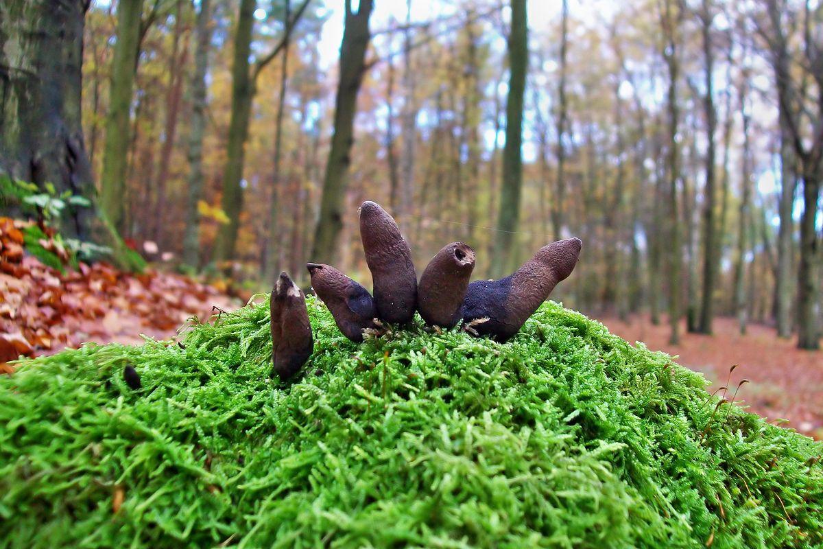 Grzyby przypominające palce umarlaka straszą w polskich lasach. Jego prawdziwa nazwa to próchnilec maczugowaty