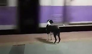 Kiedy pociąg podjeżdża, suczka rozpoczyna poszukiwania