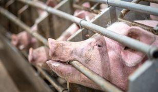 Przemysłowa hodowla zwierząt może być źródłem kolejnej pandemii.