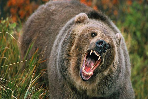 Rosyjski gaz na niedźwiedzie. Wynalazek z Syberii