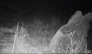 Nadleśnictwo Baligród. Senny niedźwiedź przyłapany na kolacji [WIDEO]
