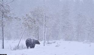 Świeże ślady niedźwiedzi. Nagrania i zdjęcia