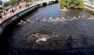 Ludzie, tworząc żywy łańcuch, powoli kierowali delfiny w stronę wód zatoki