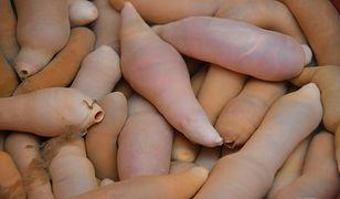 Szczetnice mierzą ok. 20 cm i są pożywieniem m.in. dla mew czy dużych rozmiarów ryb