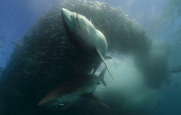 Nurkowanie z rekinami na żywo!