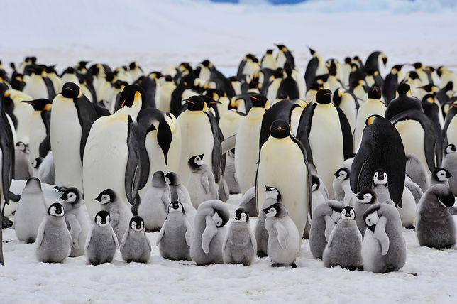 Pingwiny cesarskie, które mogą wyginąć