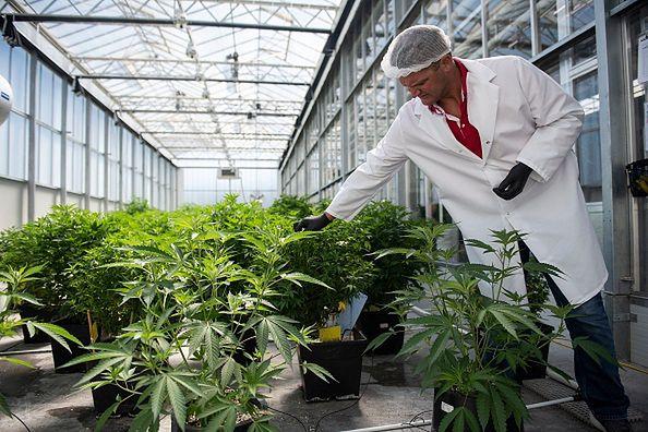 Wstępne badania pokazują, że marihuana może być skuteczna w zwalczaniu pandemii COVID-19.