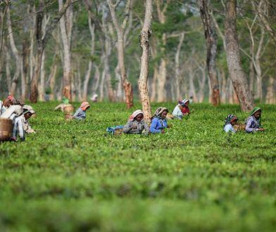 Plantacja Monabarie w Assamie, największy herbaciany ogród w Azji - ponad 1100 hektarów