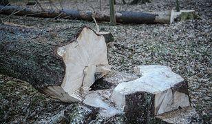 Wycinka Puszczy Białowieskiej. Oto twarde dane Lasów Państwowych