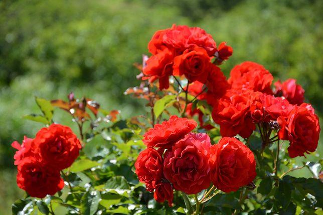 Czerwone róże odmiany Tiger, McGredy, w Rozarium w Bernie