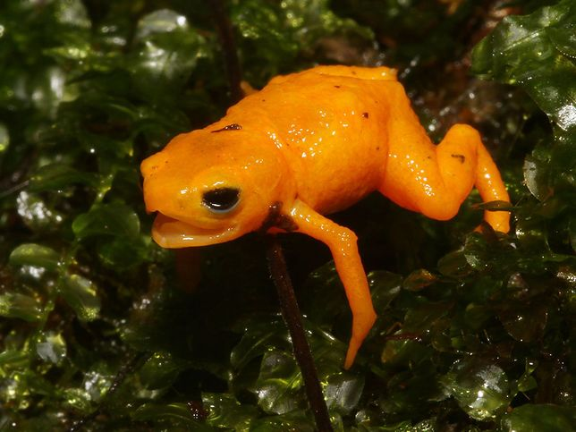 Brachycephalus rotenbergae - trująca żaba z brazylijskich lasów