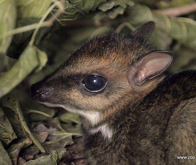 We wrocławskim zoo urodził się myszojeleń. Wszyscy liczą, że okaże się samcem