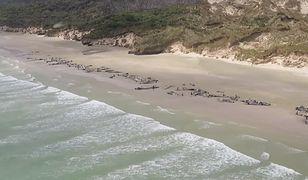 Prawie 150 grindwali zginęło na brzegu Nowej Zelandii