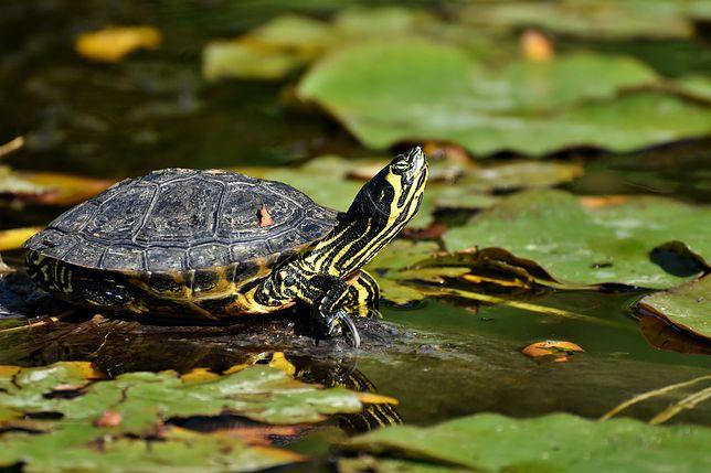 Wrocław. Odłowią żółwie z fosy miejskiej. Tworzą zagrożenie dla przyrody