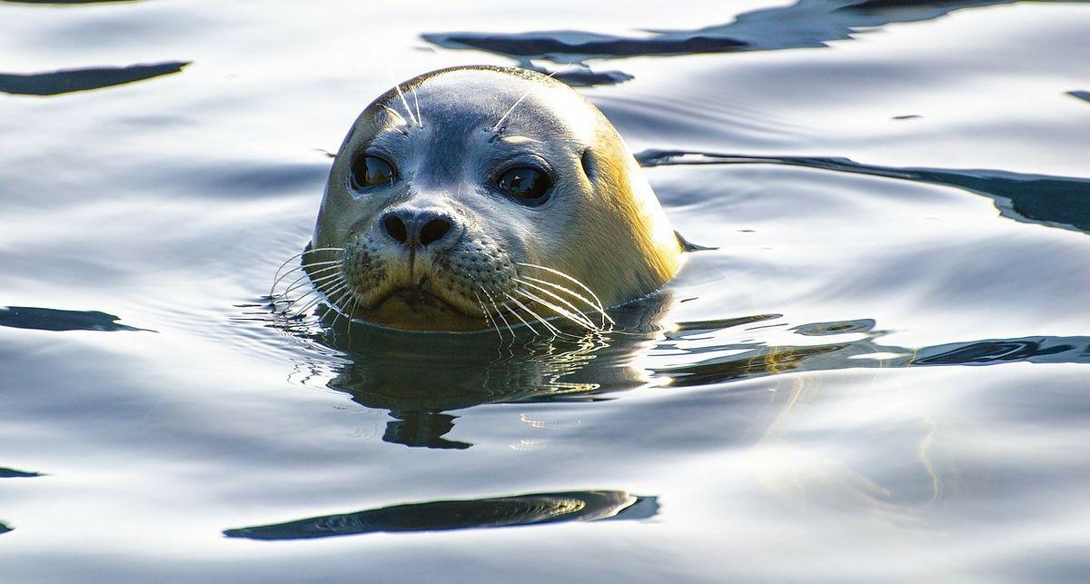 Rewa. Znaleziono kolejne dwie martwe foki