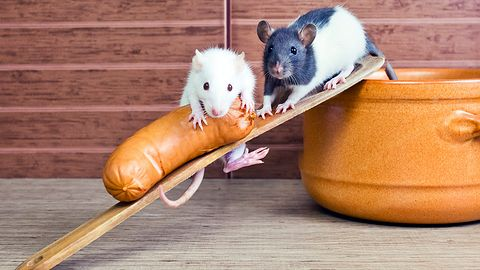 Władcy marionetek: interfejs mózg-mózg pozwala na zdalne sterowanie szczurami