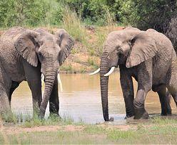 Zabił 500 słoni. Mężczyzna skazany na 30 lat więzienia