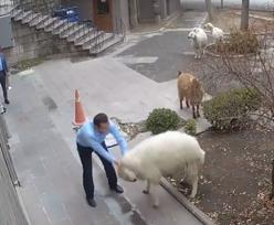 Turcja. Baran, koza i jagnięta sterroryzowały miasto