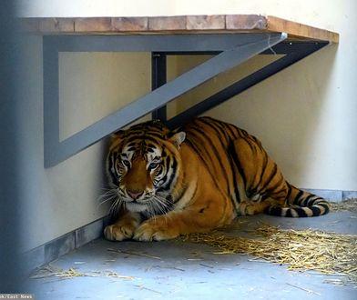 Tygrysy z poznańskiego zoo w niebezpieczeństwie. Rosjanie będą chcieli je odzyskać