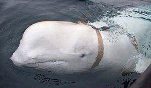 Białucha w uprzęży z Rosji przypłynęła do Norwegii