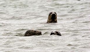 Foki szare w wodach Bałtyku