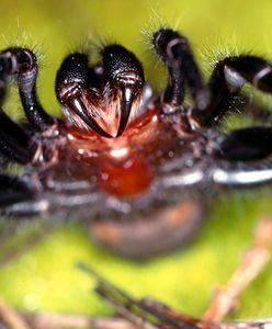 Australijczycy nie mają lekko. Po pożarach i ulewach muszą zmagać się z pająkami
