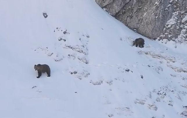 Nadchodzi wiosna. Niedźwiedzie budzą się z zimowego snu