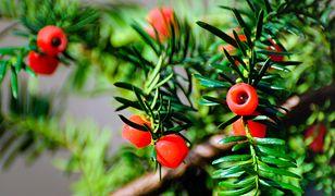 Cis to piękna i długowieczna roślina