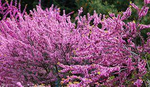 Judaszowiec kanadyjski jest miododajny, jego drobne kwiaty przyciągają do ogrodu ogromne ilości drobnych owadów, głównie pszczół.