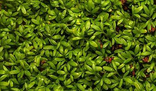 Rzeżucha – smaczna i zdrowa