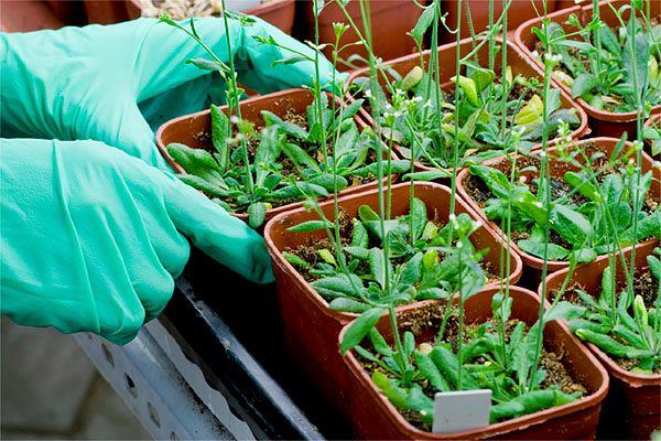 Wojna o GMO: ambasada USA i naukowcy lobbują za zniesieniem zakazu