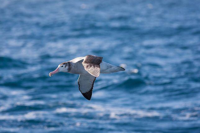 Albatrosy pomogą w walce z przestępcami.