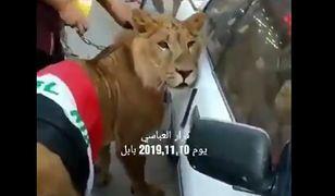 Jeden z demonstrantów przyprowadził na protest lwa