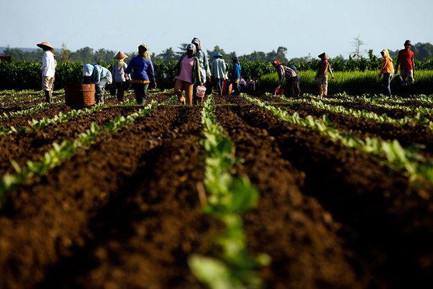 Plantacja tytoniu w Indonezji