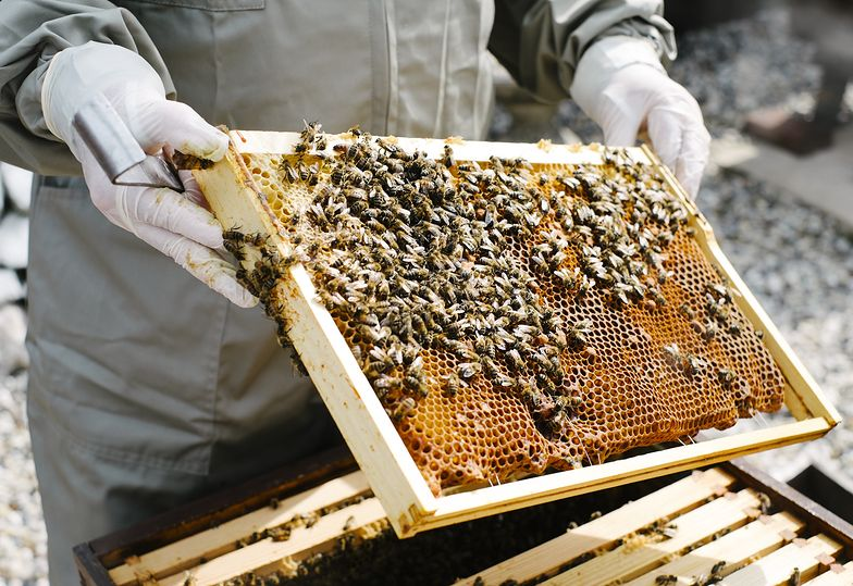 Katastrofa ekologiczna na Dolnym Śląsku. Rolnik zabił 7,5 mln pszczół