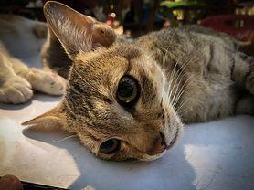 Sterylizacja i kastracja kota i kotki – wskazania, przygotowanie do zabiegu, opieka, zalecenia po zabiegu