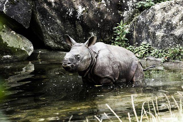 W ZOO urodził sie mały nosorożec!
