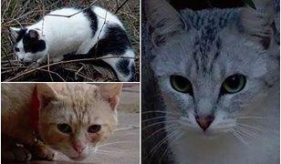 Niemcy porywają polskie koty? Tajemnicza seria zaginięć pupilów