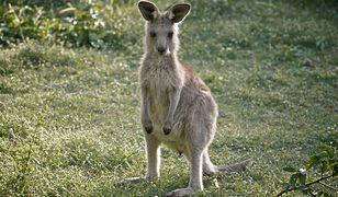 Kangur, zdjęcie ilustracyjne