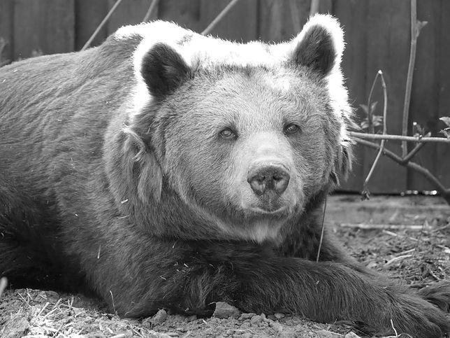 Warszawska celebrytka z zoo, sympatyczna niedźwiedzica Tatra nie żyje. Była najbardziej znanym zwierzakiem w stolicy