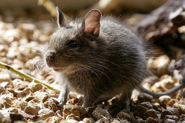 Szczur zaatakował dziecko