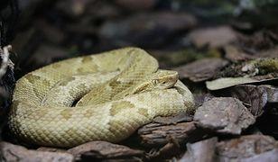 Ukąszenie węża Jararaca-ilhoa jest śmiertelne