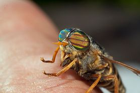 Jak odstraszyć muchy końskie? (WIDEO)