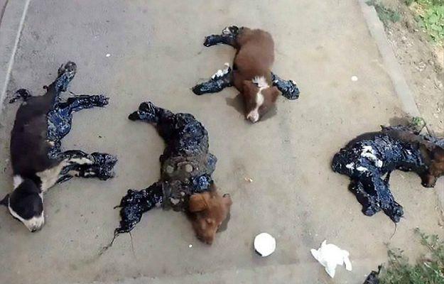 W Rumunii ktoś celowo oblewa psy smołą i zostawia je na pewną śmierć