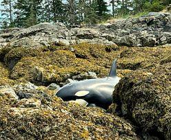 Alaska. Orka utknęła na kamienistej plaży. Olbrzymia akcja ratunkowa