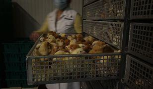 - Procedura jest taka, że się dobija kurczaki, które są słabe i nie rokują - tłumaczy właściciel fermy