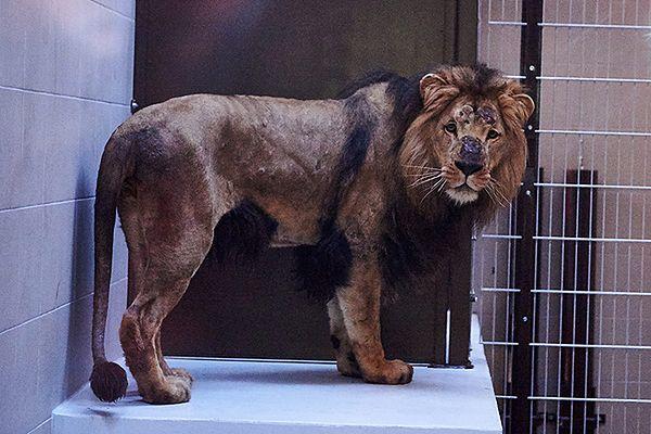 Lew zagryzł lwicę w zoo w Gdańsku