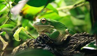 Grodzisk Mazowiecki. 30-letnia kobieta zmarła po użyciu wydzieliny z egzotycznej żaby